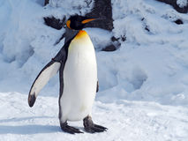 Pingouin seul marchant Photographie stock
