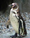 Pingouin sur des roches Photographie stock