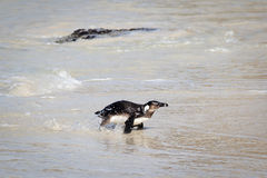 Pingouin sur la plage Photographie stock libre de droits