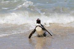 Pingouin sur la plage Image libre de droits