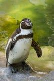 Pingouin sur la roche Image stock