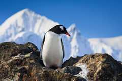 Pingouin sur les roches Photo stock