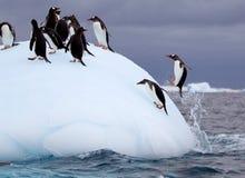 Pingouin torpillant de Gentoo Photos libres de droits