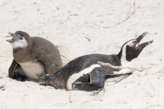 Pingouins à la colonie en Afrique du Sud Image libre de droits