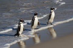 Pingouins à la plage de rochers image libre de droits