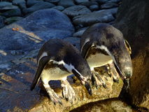 Pingouins Photos stock