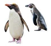 Pingouins Image libre de droits