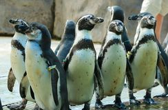 pingouins Photographie stock
