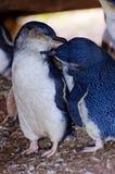 Pingouins affectueux sur l'île de Phillip Image stock