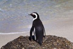 Pingouins africains à la plage de rochers Photographie stock libre de droits