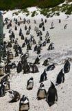 Pingouins africains à la plage de rochers située dans Simon& x27 ; ville Cape Town, Afrique du Sud de s images libres de droits