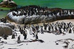 Pingouins africains à la plage de rochers située dans Simon& x27 ; ville Cape Town, Afrique du Sud de s image stock