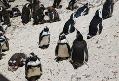 Pingouins africains à la plage de rochers située dans Simon& x27 ; ville Cape Town, Afrique du Sud de s photo stock