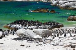 Pingouins africains à la plage de rochers située dans Simon& x27 ; ville Cape Town, Afrique du Sud de s photos libres de droits