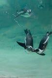 Pingouins africains photos stock