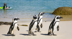 Pingouins africains Photographie stock libre de droits