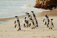 Pingouins africains Image libre de droits
