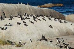 Pingouins africains Image stock