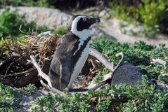 Pingouins africains, la ville de Simon, Afrique du Sud Photographie stock