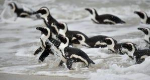 Pingouins africains nageant dans l'océan photo libre de droits