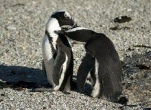 Pingouins africains se toilettant Image stock