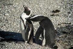 Pingouins africains se toilettant Images libres de droits