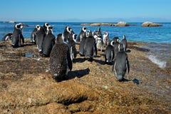 Pingouins africains sur les roches côtières Photographie stock