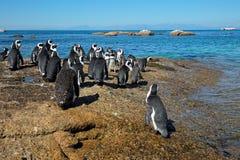 Pingouins africains sur les roches côtières Image libre de droits