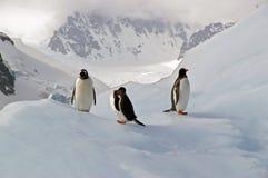 Pingouins antarctiques de Gentoo Photographie stock libre de droits