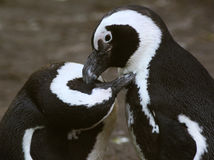 Pingouins aux pieds noirs Image libre de droits