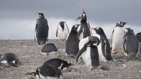 Pingouins chez Isla Martillo, Patagonia Tierra del Fuego Argentina d'Ushuaia de la Manche de briquet image libre de droits
