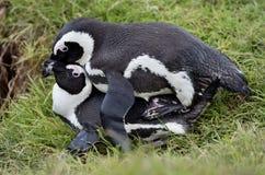 Pingouins d'âne de accouplement (demersus de Spheniscus) (pingouins africains) Images stock