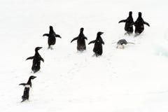 Pingouins d'Adélie fonctionnant sur la glace.