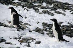Pingouins d'Adelie escaladant une côte Photo libre de droits