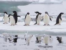 Pingouins d'Adelie sur la péninsule antarctique Image stock