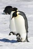Pingouins d'empereur images stock