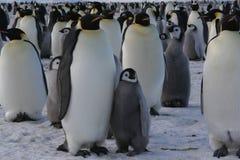 Pingouins d'empereur Images libres de droits