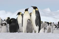 pingouins d'empereur Photographie stock