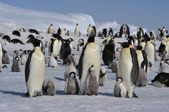 Pingouins d'empereur avec des poussins Image stock