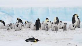 Pingouins d'empereur avec des poussins en Antarctique banque de vidéos