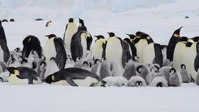 Pingouins d'empereur avec des poussins en Antarctique clips vidéos