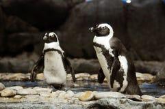 Pingouins d'Emporer images libres de droits
