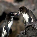 Pingouins dans l'amour Photographie stock libre de droits