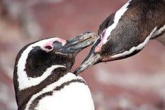 Pingouins dans l'amour Photos stock