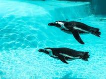 Pingouins dans l'eau Images libres de droits