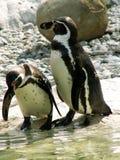 Pingouins dans l'entretien photographie stock