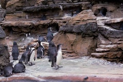 Pingouins dans le zoo de Seattle Photographie stock libre de droits