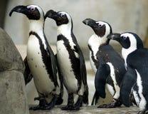 Pingouins dans une ligne Images libres de droits