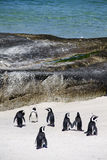 Pingouins de cap sur la plage de rochers image stock