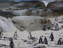 Pingouins de Cape Town Photographie stock libre de droits